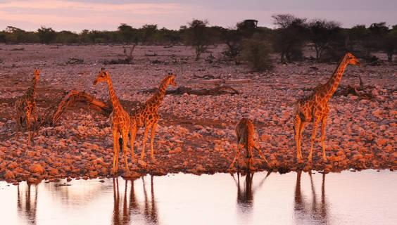 Griaffen sammeln sich am Wasserloch.  © Christian Heeb